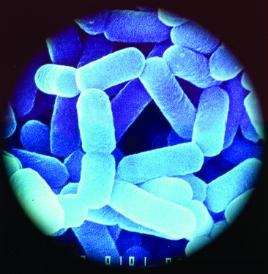 bactérie lactobacillus