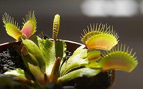 attrape mouche plante