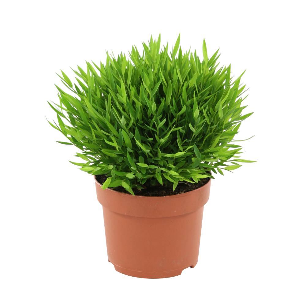 bambou plante d intérieur