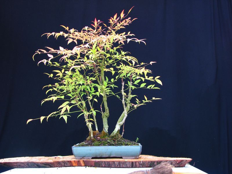 bonsai bambou