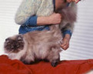 brosse pour chat persan