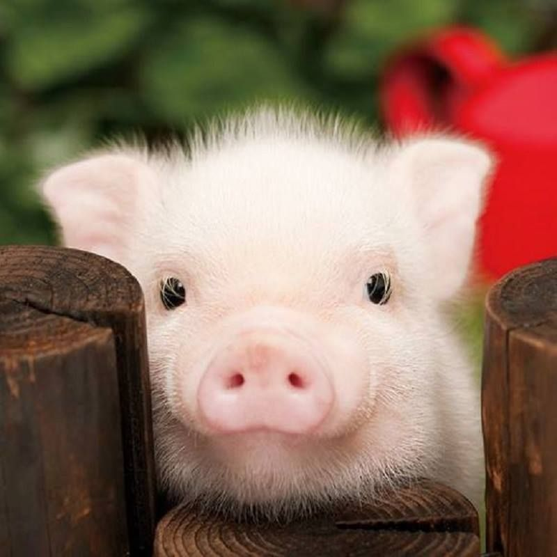 cochon cute